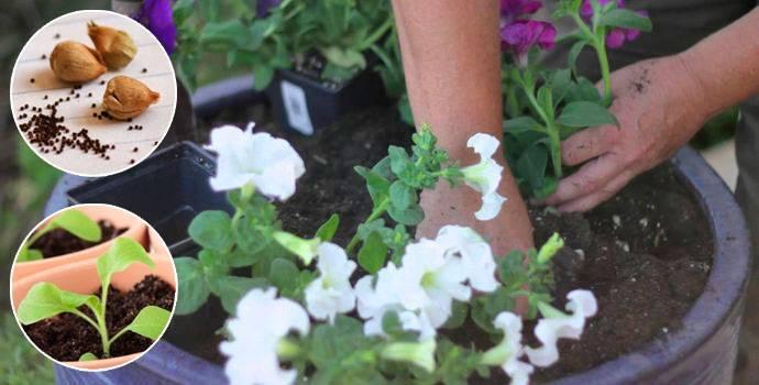 Как вырастить рассаду петуньи из семян — это легко и просто!