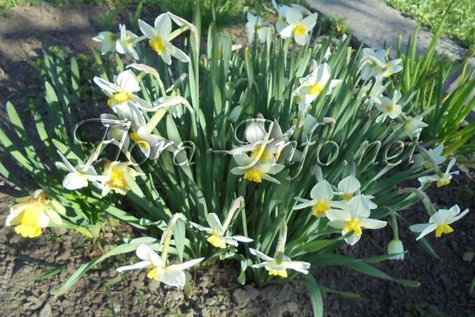 Как выращивать нарциссы – посадка и уход в саду