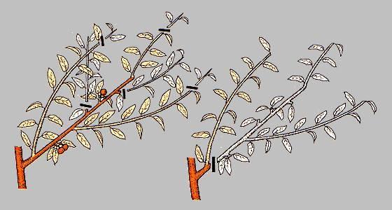 Как и когда проводить обрезку абрикоса: полное руководство