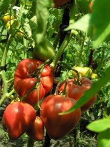 Описание сорта томата восток, особенности выращивания и ухода