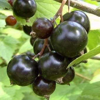 Смородина золотистая: особенности, сорта и нюансы выращивания