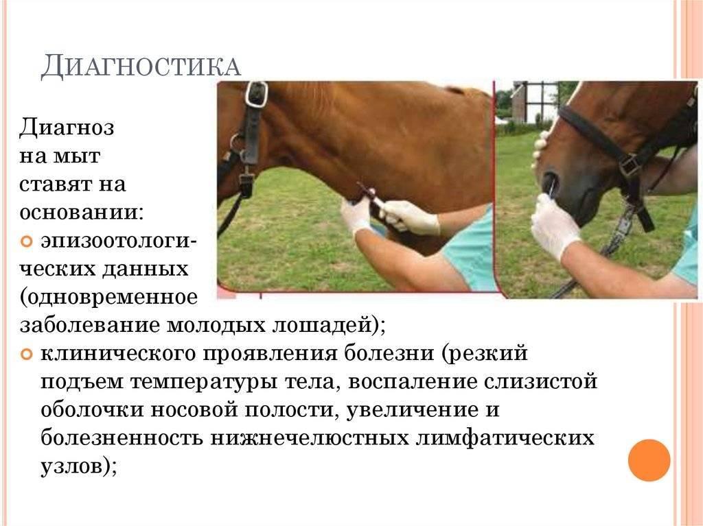 Обзор заболеваний лошадей