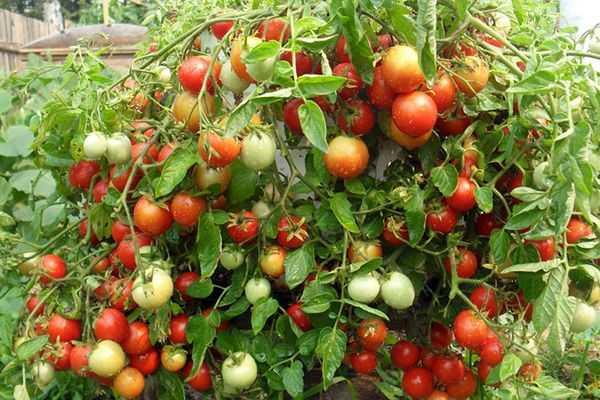 Чем сорта томатов отличаются от гибридов и что лучше выбрать