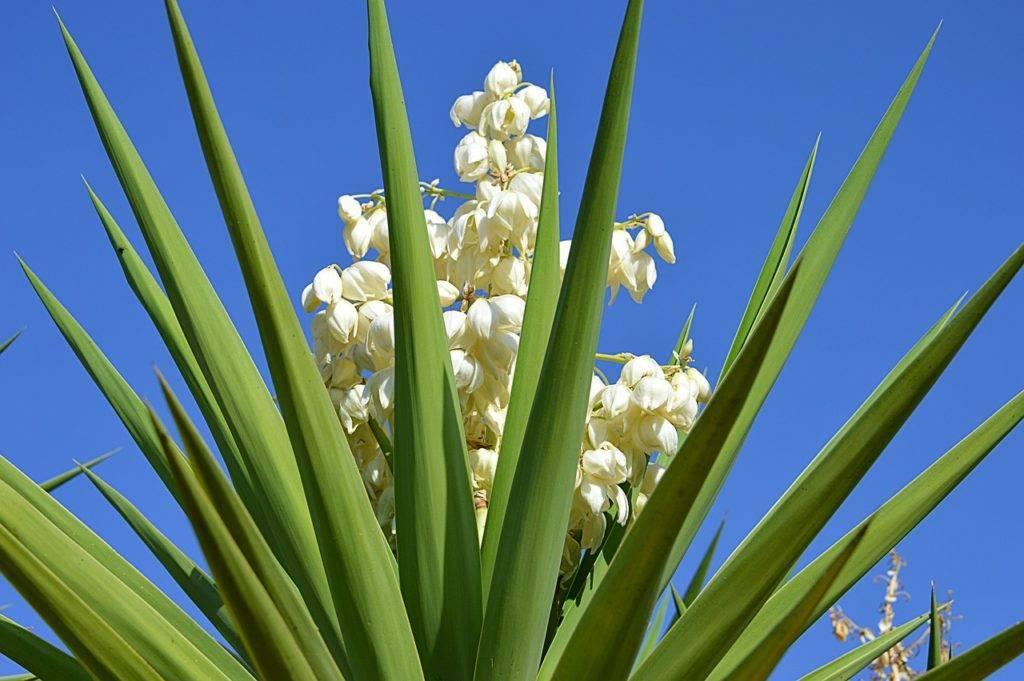 Садовая юкка: характеристика видов, правила посадки и ухода