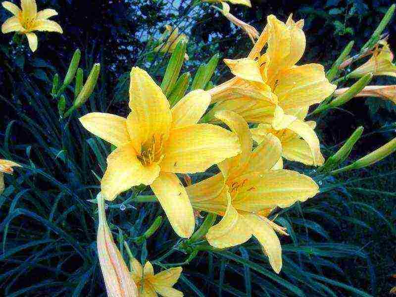 Цветок лилейник: описание, посадка и уход