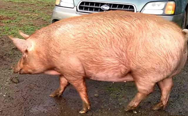 Сколько дней обычно гуляет свинья: первые признаки охоты у животных, эффективные методы случки