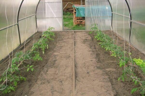 Описание сорта томата вериге, особенности выращивания и ухода