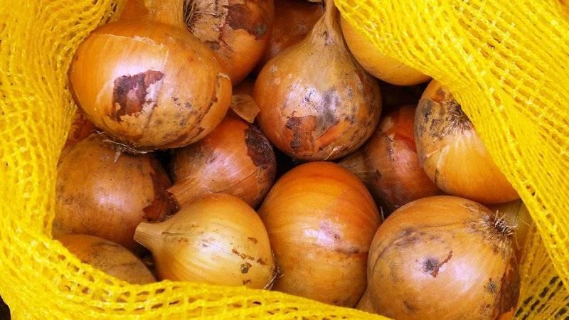 Неприхотливый лук стурон: описание сорта, способы выращивания, хранение урожая