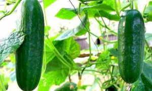 Описание сорта огурцов серпантин, его выращивание и характеристика