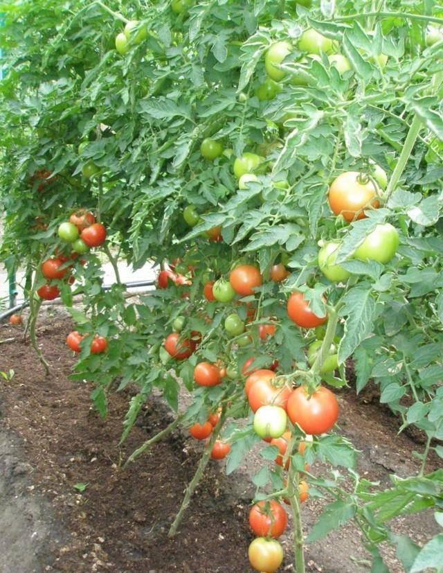 Томат пинк уникум: характеристика и описание сорта, урожайность с фото