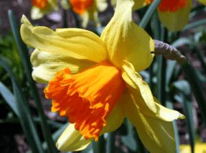 Можно ли сажать нарциссы разных сортов вместе. нарцисс — цветок весны. учимся правильно сажать первоцвет осенью