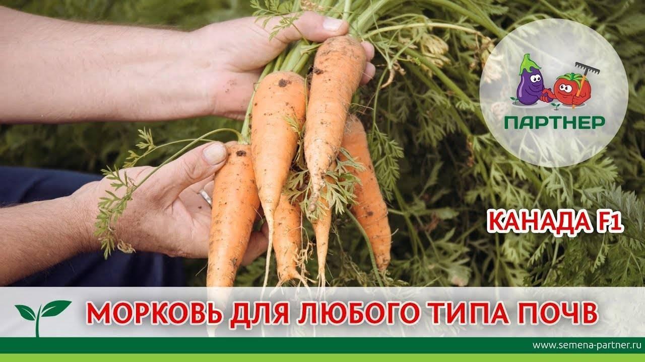 Морковь канада f1: описание и отзывы о популярном сорте