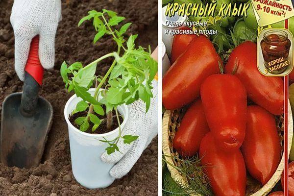 Томат розовый клык: характеристика сорта, урожайность, отзывы