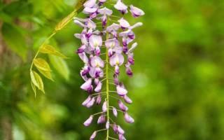 Глициния: посадка и уход, выращивание из семян