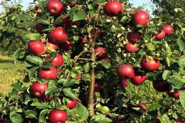 Зимняя яблоня память сикоры
