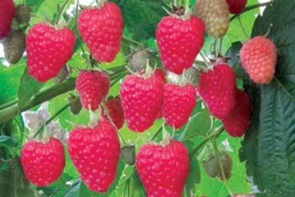 Top-20 самых ранних сортов малины. выбор редакции