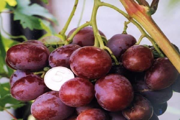 Виноград денисовский: описание сорта и характеристики, правила посадки и ухода