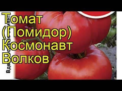 Индетерминантный сорт томата «космонавт волков»: описание, характеристика, посев на рассаду, подкормка, урожайность, фото, видео и самые распространенные болезни томатов