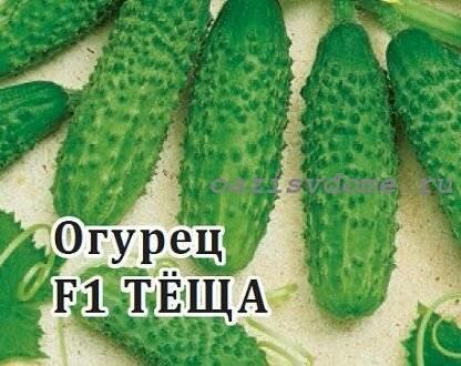 Описание и характеристика сорта огурцов теща и зятек