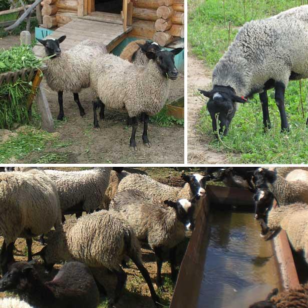 Мясные породы овец: описание и особенности разведения