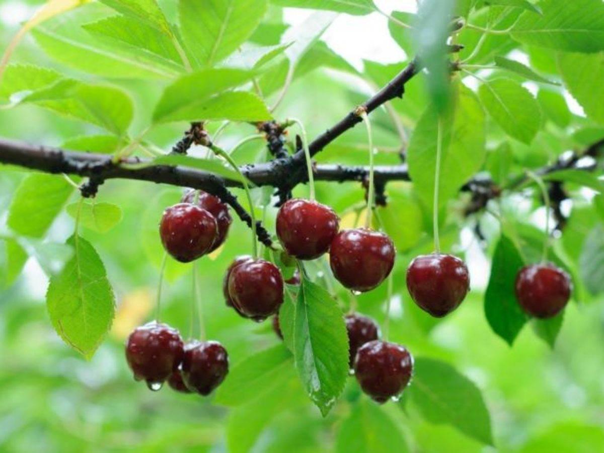 Болезни вишни, профилактика и лечение заболеваний вишневого сада химикатами и агротехникой