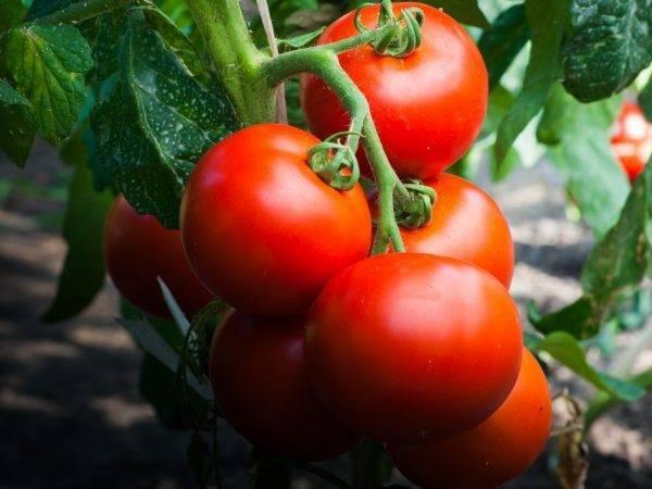 Описание сорта томата черри лиза, его характеристика и урожайность