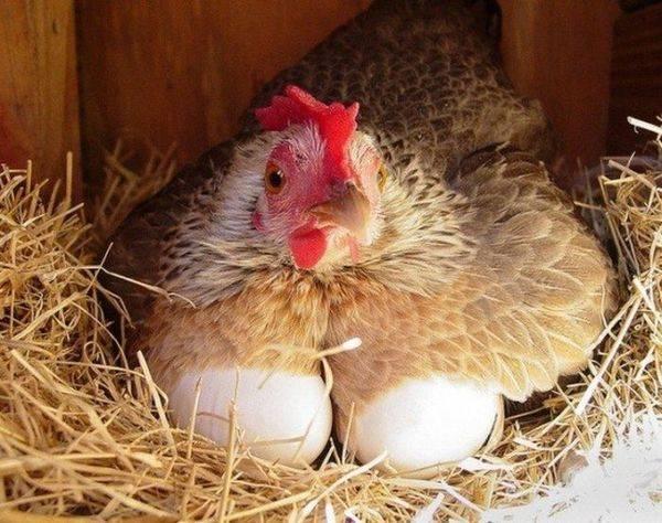 Двухжелтковые яйца – нормально ли это