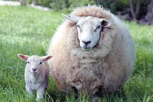 Сравнительная характеристика клостридиозов коров