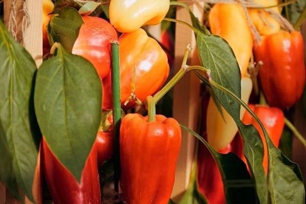 Перец гибридный сладкий сорта «фламенко f1»: описание и секреты выращивания рассады — дачные идеи и опыт садоводов