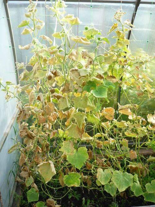 Желтеют листья огурцов в теплице? просто огурцам холодно