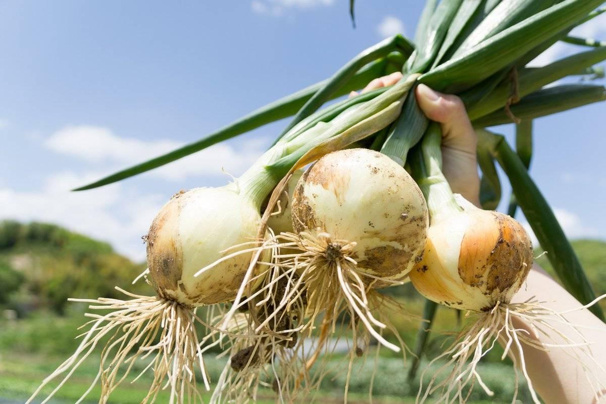Выращивание лука на репку в открытом грунте