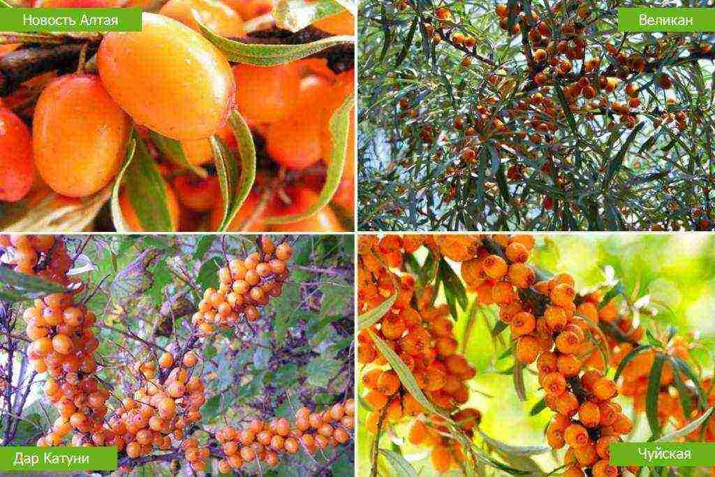 Облепиха: посадка и уход, обрезка и сбор ягод