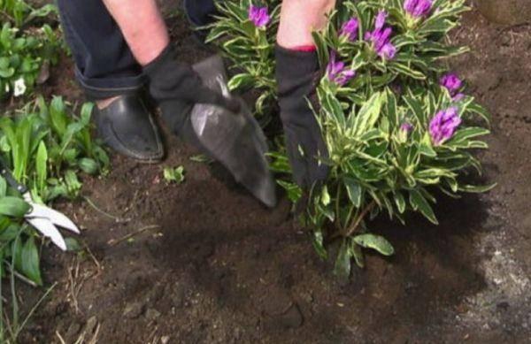 Когда и как правильно проводить посадку рододендронов осенью?