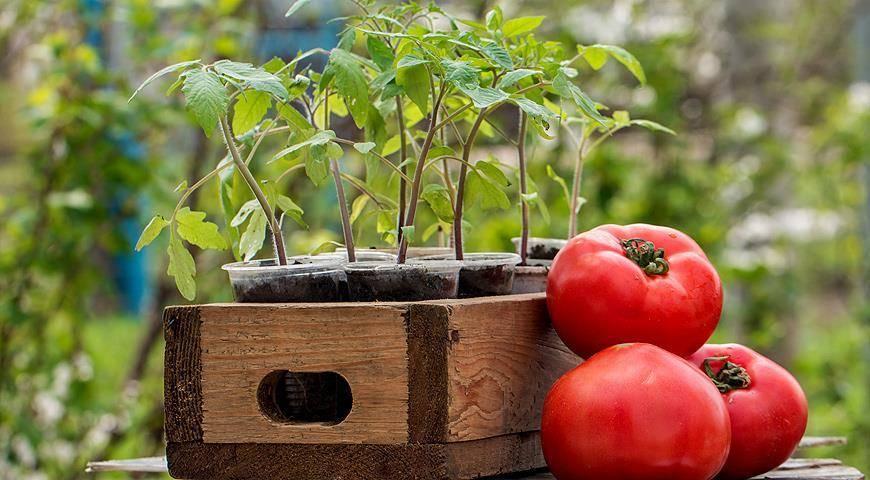 Когда сажать томаты на рассаду в 2020 году по лунному календарю