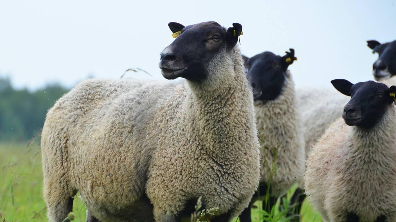 Описание романовской породы овец