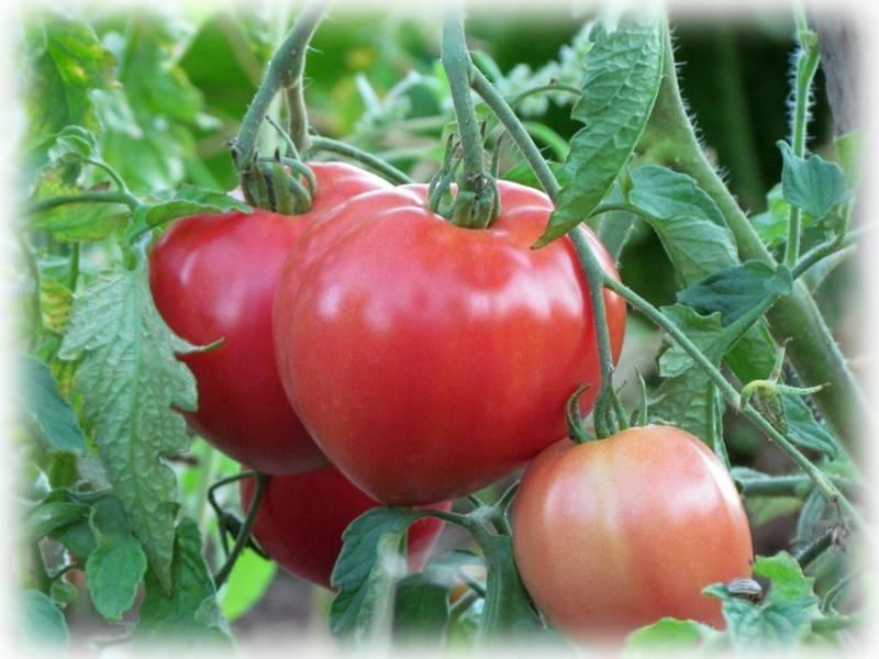 Томат огородник: характеристика и описание сорта, отзывы, фото