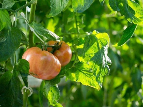 Описание и характеристики сорта томатов андромеда, урожайность и выращивание
