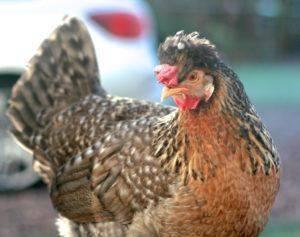 Легбар – порода кур с необычным цветом яиц. внешние стандарты, характер, особенности содержания, размножение