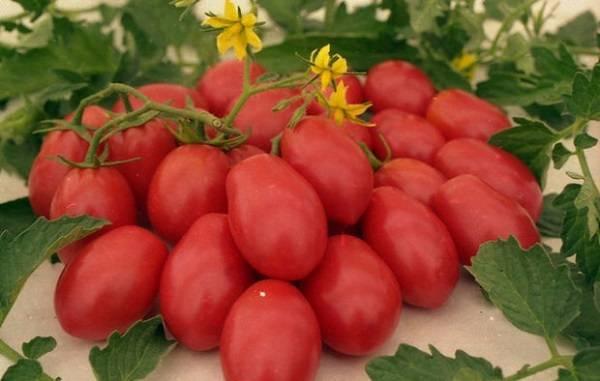 Выращивание томата ракета
