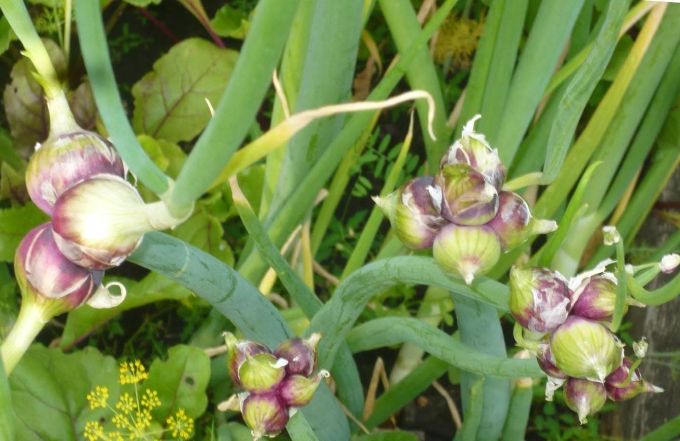 Многоярусный лук — посадка и уход, размножение, фото