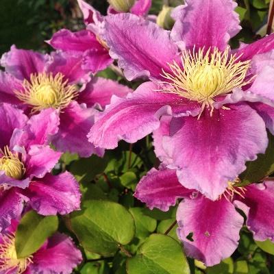 Клематис жгучий мелкоцветковый: описание сорта, фото и отзывы