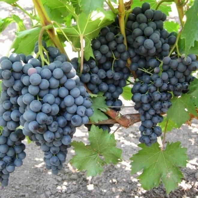 Описание и характеристики винограда сорта красотка, сроки созревания и уход