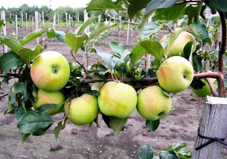 Вкусные и красивые плоды, идеальные для приготовления сока — яблоки сорта ароматный