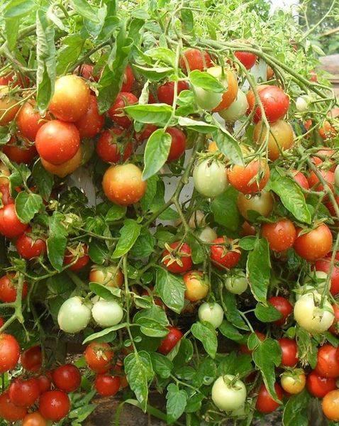 Сортовая характеристика томата ляна