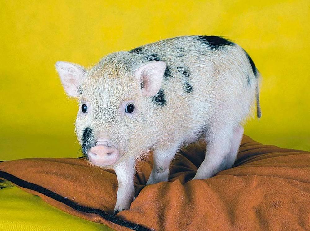 Карликовые свиньи для дома в качестве питомцев (мини-пиги)