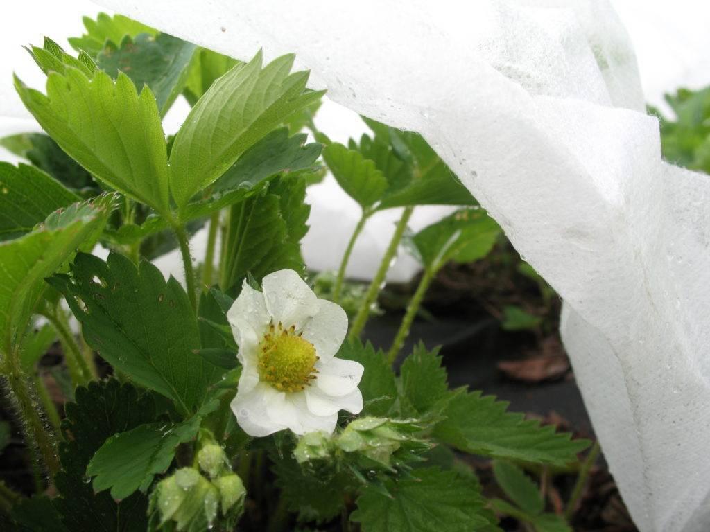 Виды укрывных тканей и материалов для клубники от сорняков