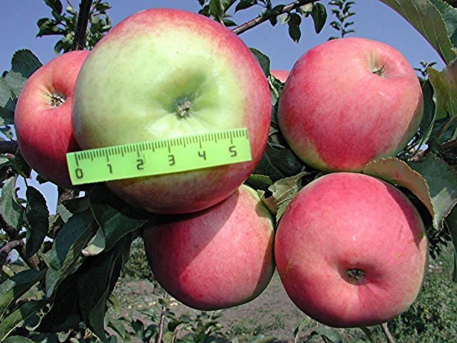 Характеристики сорта яблок Прима, описание подвидов, выращивание и урожайность