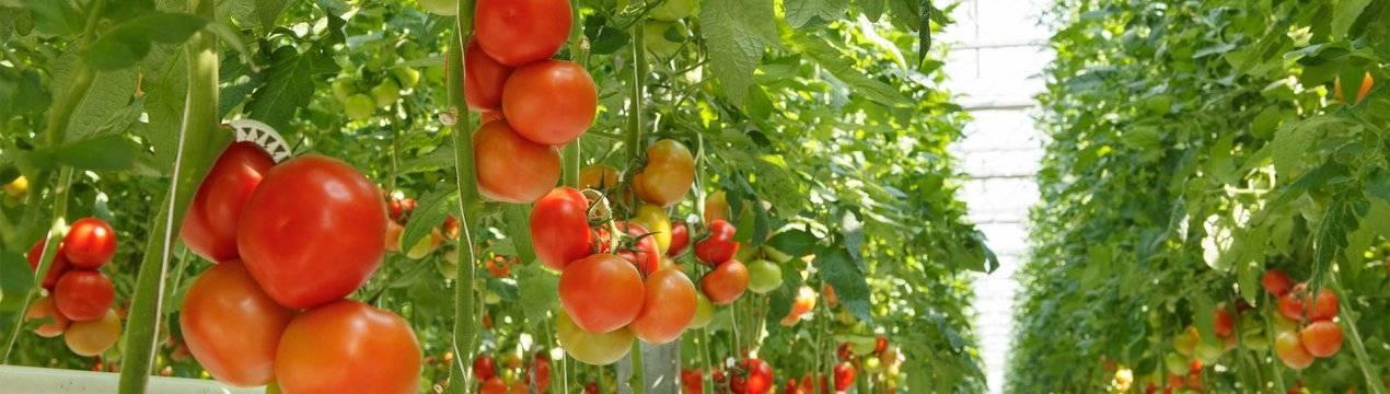Как предотвратить и устранить проблемы при выращивании рассады томатов