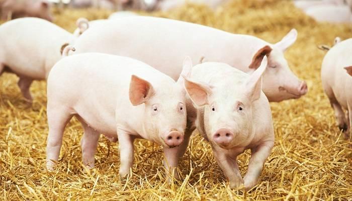 Какие белково-минерально-витаминные добавки (бмвд) для свиней лучше