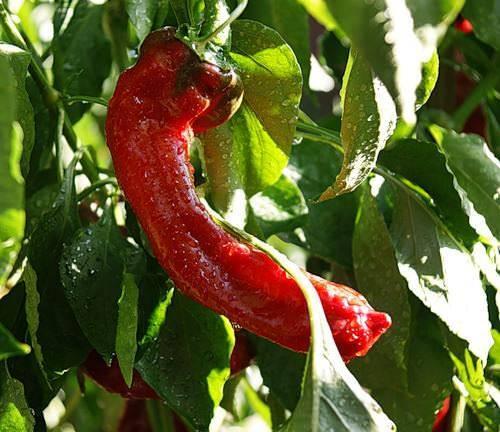 Удивительно вкусный и невероятно полезный перец - сорт «какаду»: выращивание и разведение